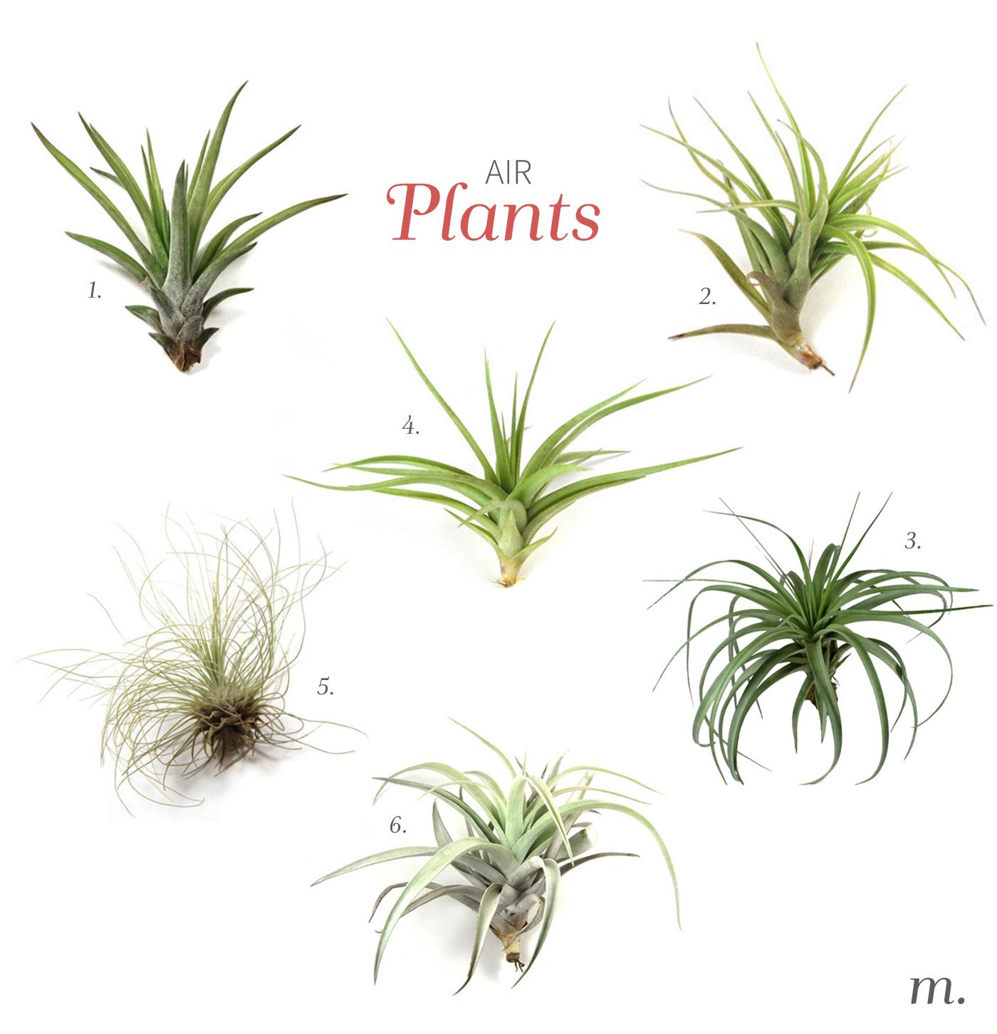 Air_Plants